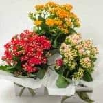 expressions-local-cambridge-hamilton-florist-delivery-kalenkohe-plant