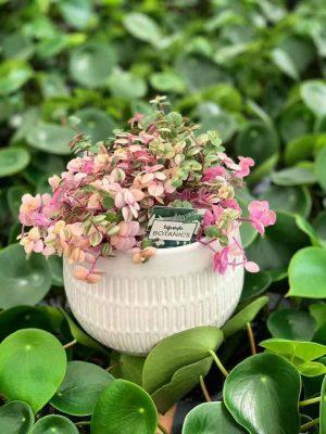 sweet-bubble-plant-in-vase-florist-cambridge-hamilton-expressions